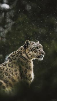 豹 小雪 皮毛 野豹 户外