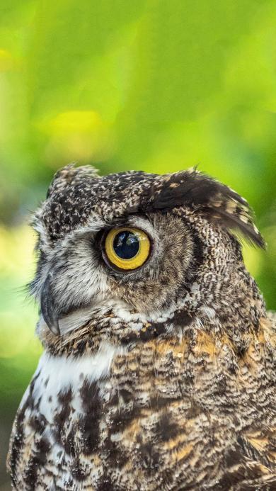 飞禽 猫头鹰 大眼睛 夜行动物