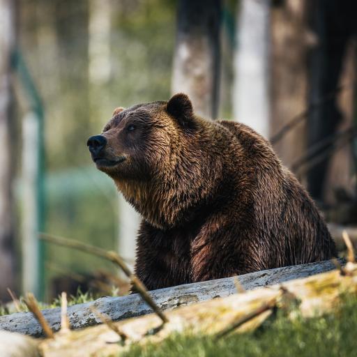 郊外 棕熊 呆萌 庞大