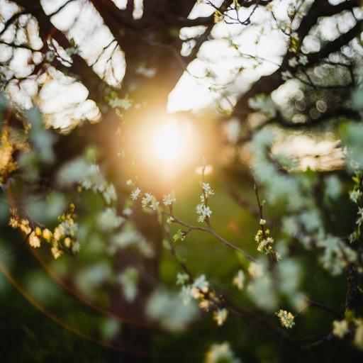 大树 枝叶 鲜花 白色 阳光