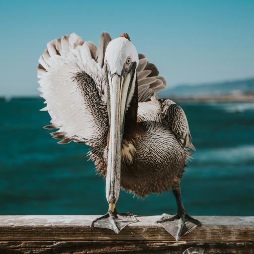 褐鹈鹕 海鸟 庞大 捕鱼