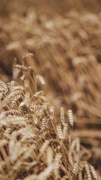 麦穗 丰收 庄稼 粮食
