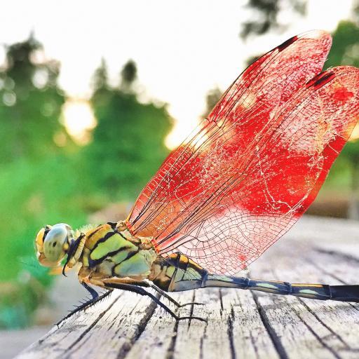 蜻蜓 展翅 昆虫 翅膀