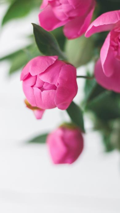 鲜花 郁金香 枝叶 花苞
