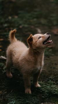 狗 野外 土狗 中华田园犬