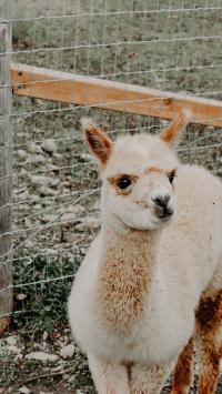 羊驼 皮毛 大眼 草泥马