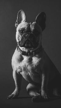 法国斗牛犬 狗 宠物 可爱 汪星人 黑色