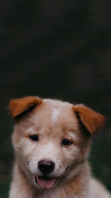 宠物狗 狗子 可爱 幼崽