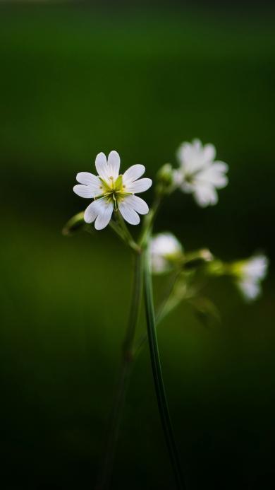 鲜花 白色 小花 密花繁缕