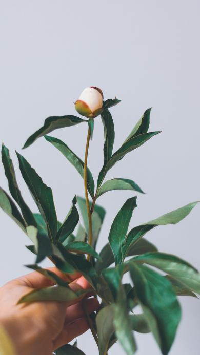 花苞 芍药 枝叶