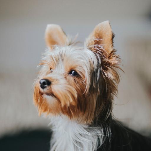 约克夏梗 宠物 狗 犬类