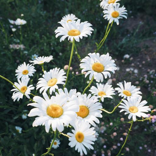 雏菊 盛开 野花 遍地