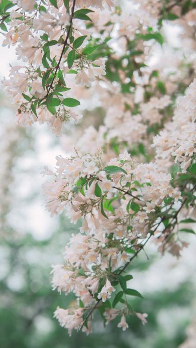蝟实 景色 花季 盛开 花朵 枝头 枝叶