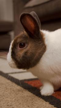 兔子 皮毛 宠物 可爱