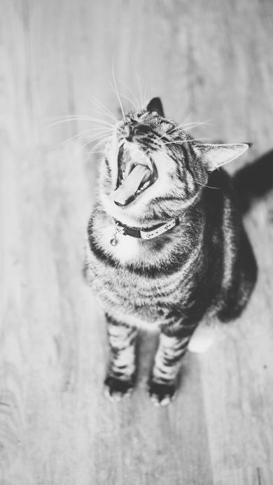 猫咪 灰白 宠物 张嘴
