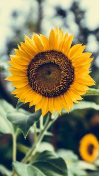向日葵 花盘 盛开 向阳
