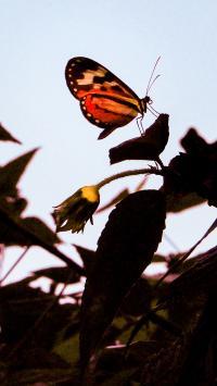 昆虫 蝴蝶 粉翅 采蜜