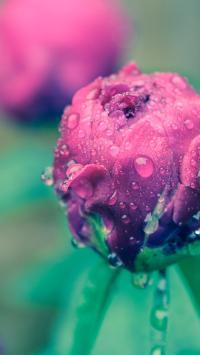 鲜花 花苞 枝叶 露珠 水珠