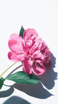 芍药 鲜花 盛开 花瓣 枝叶 特写 唯美