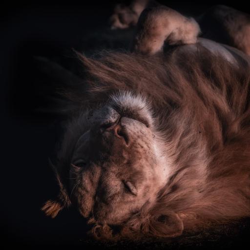 狮子 森林之王 猛兽 凶猛