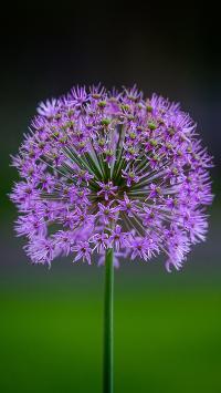 鲜花 韭花 紫色 绽放