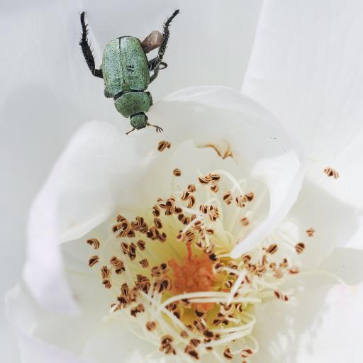 昆虫 鲜花 花蕊 甲虫