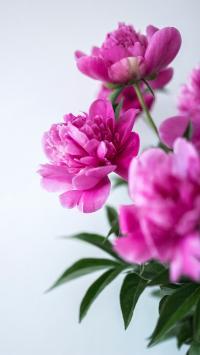 芍药 鲜花 花朵 盛开 枝叶