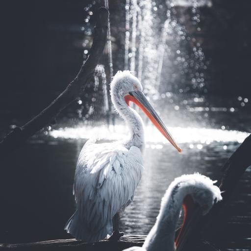 鸟类 水鸟 卷羽鹈鹕 水花