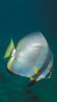 海洋生物 海鱼 短翅蝙蝠鱼