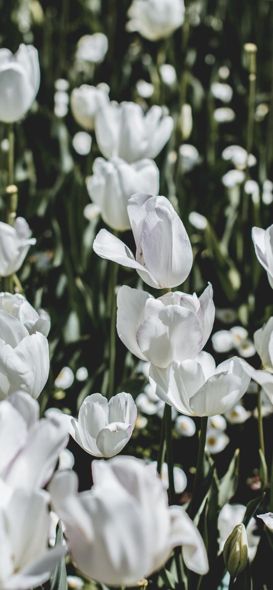 郁金香 鲜花 白色 枝叶  花田
