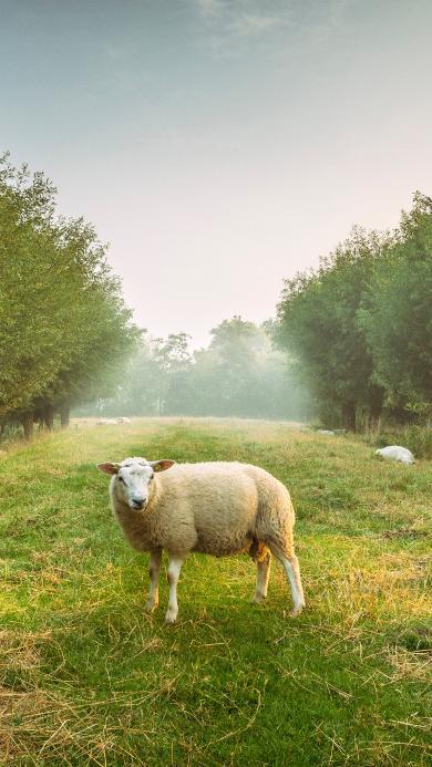 绵羊 草地 树林