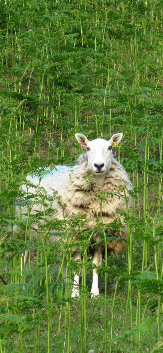 绵羊 牲畜 牧场 绿色 丛林