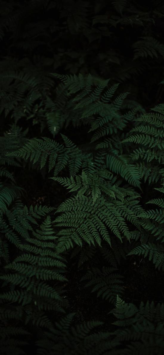 蕨类 暗黑 特写 松叶蕨