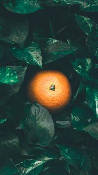橘子 枝叶 柑橘类 橙 水果