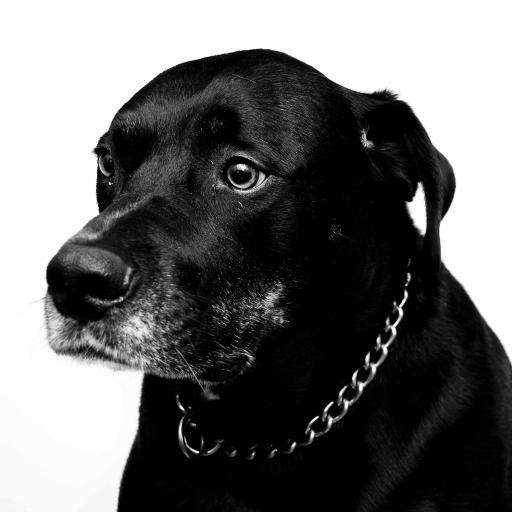 拉布拉多 犬 黑狗 宠物 汪星人 黑白