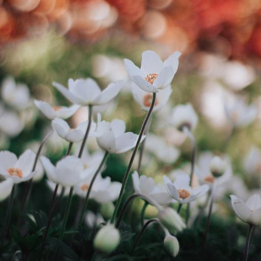 鲜花 白色 大花银莲花