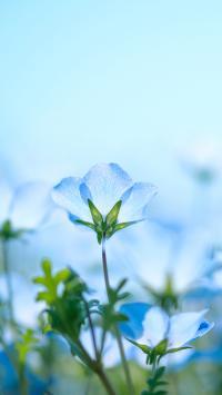 花丛 粉蝶花 蓝色 淡雅