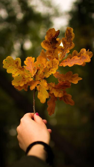 树叶 枯黄 标本 装饰