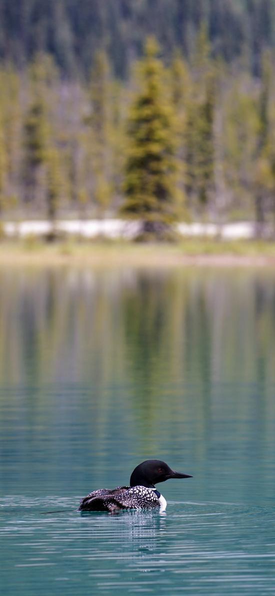 湖泊 潜鸟 黑色 觅食