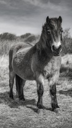 黑白 骡 杂交 短腿