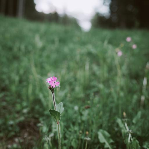 草丛 鲜花 矮雪轮 粉色