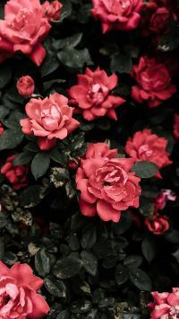 月季 鲜花 盛开 枝叶 花瓣
