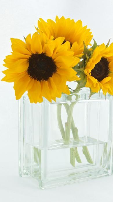 向日葵 鲜花 玻璃瓶 水 太阳花