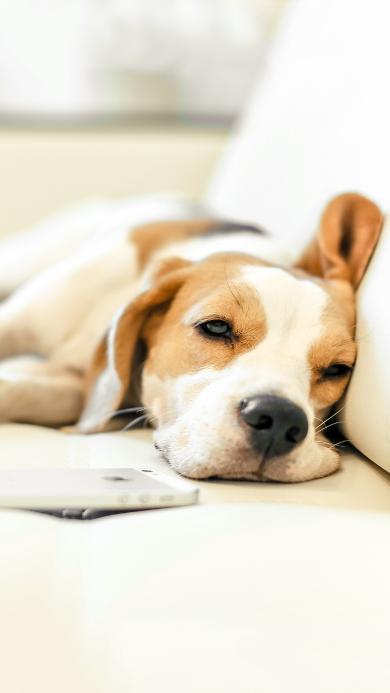 宠物狗 比格犬 睡觉 可爱
