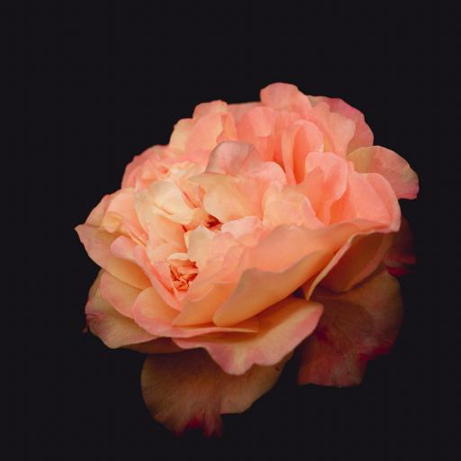鲜花 盛开 花瓣 月季 芍药