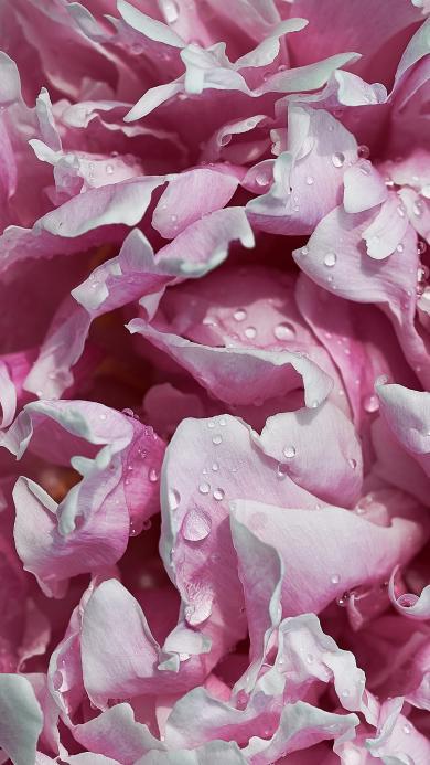 花瓣 鲜花 露珠 粉
