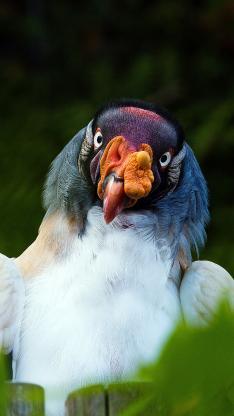 飞禽 王鹫 蓝羽毛 丑萌