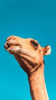 骆驼 头部 蓝天 仰拍
