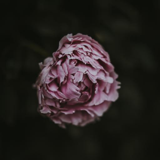 芍药 鲜花 花苞 特写 花瓣