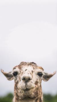 大羊驼 萌 食草 温顺